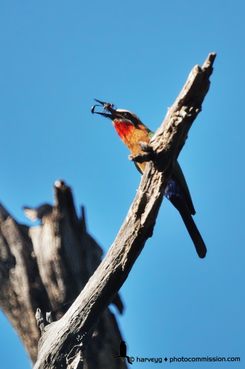 White-fronted Bee-eater at Lake Panic, KNP © H Grohmann