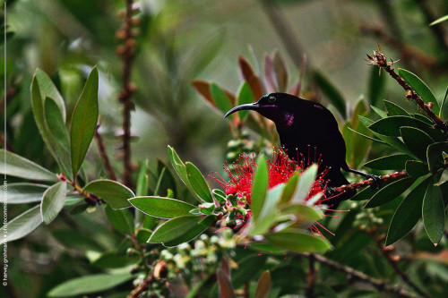 Amethyst Sunbird (M) on Honeysuckle © Harvey Grohmann 2013 All Rights Reserved