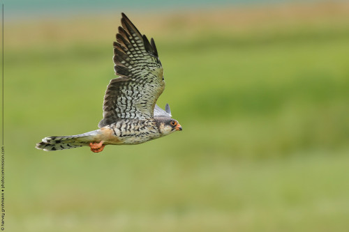 Amur Falcon I Winterton 2012/13 © Harvey Grohmann 2013. All Rights Reserved