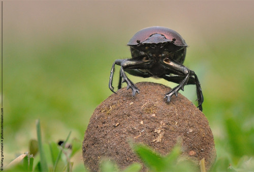 Dung Beetle (Scarabaeus viettei) © Harvey Grohmann 2012 All Rights Reserved