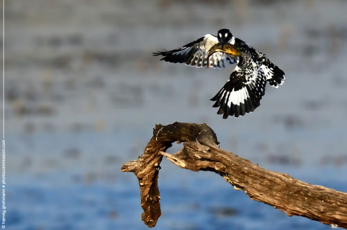 Pied Kingfisher in full flight with carp.  Harvey Grohmann 2013 All Rights Reserved