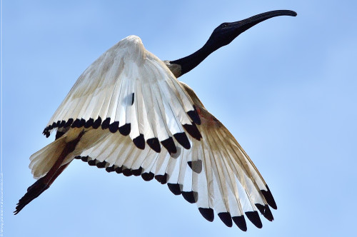 45 - African Sacred Ibis Sigma 70-200mm f/2.8 EX HSM OS  Harvey Grohmann 2013