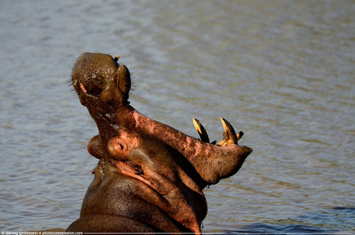 """Belch"" Henry the Hippo @ Ratlhogo Dam, Pilanesberg © Harvey Grohmann 2013 All Rights Reserved"