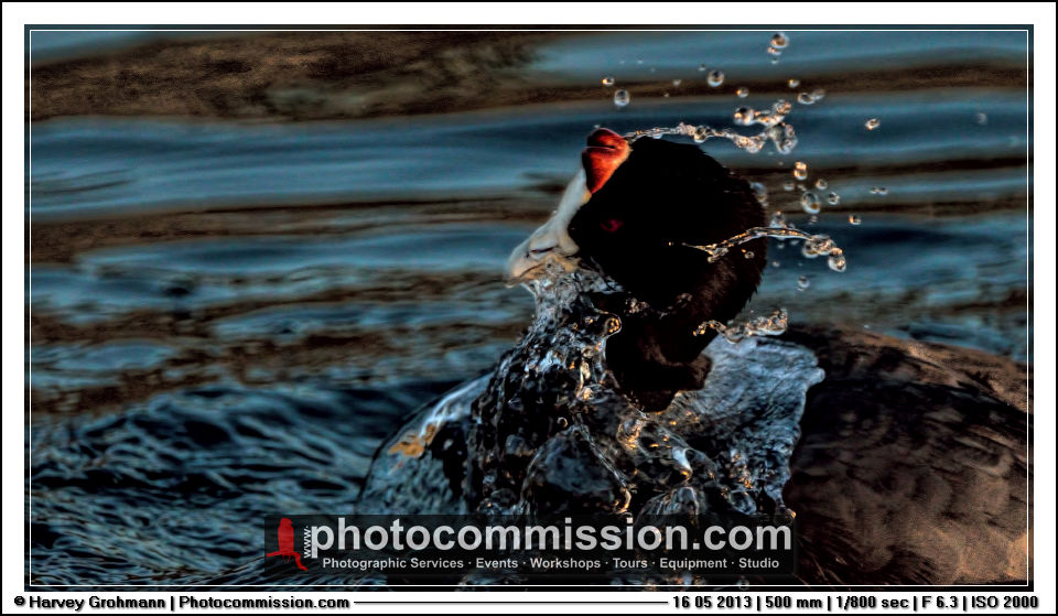 Red Knobbed Coot splash © Harvey Grohmann 2013 All Rights Reserved