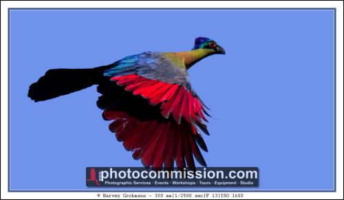 Purple Crested Turaco in flight